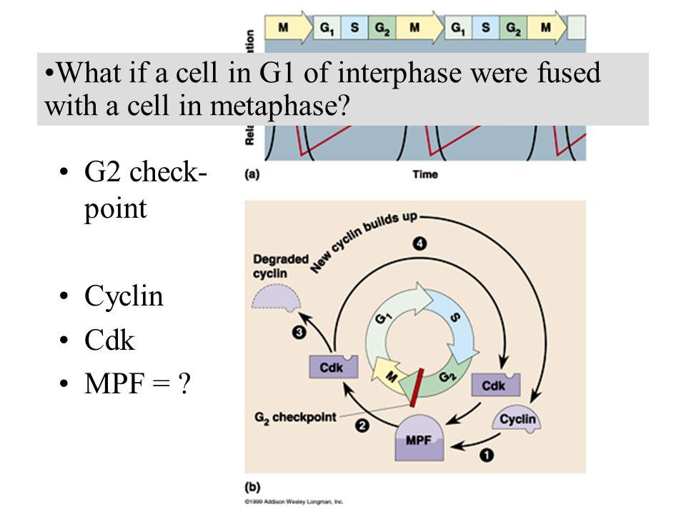 G2 check- point Cyclin Cdk MPF = .