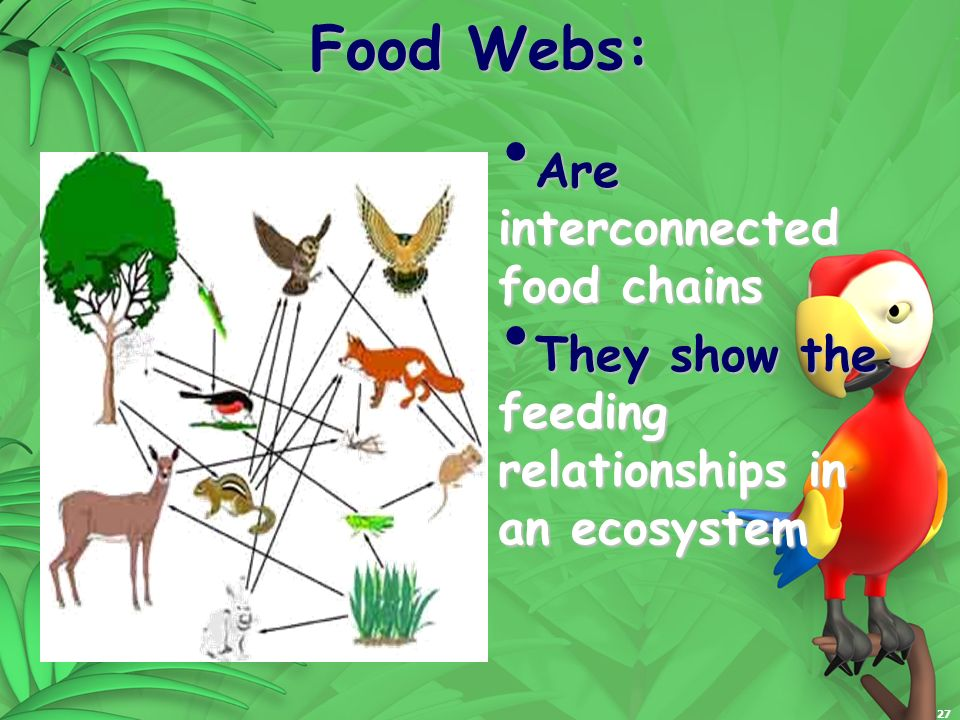 27 Food Webs: Are interconnected food chains Are interconnected food chains They show the feeding relationships in an ecosystem They show the feeding