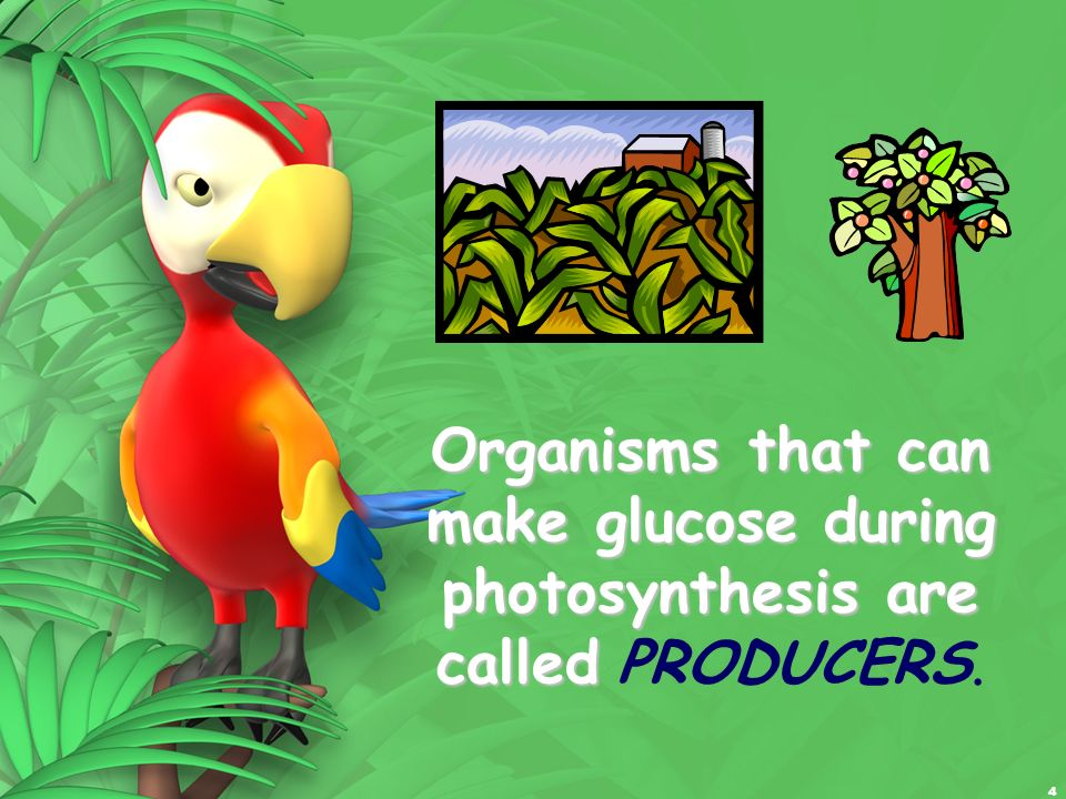 4 Organisms that can make glucose during photosynthesis are called Organisms that can make glucose during photosynthesis are called PRODUCERS.