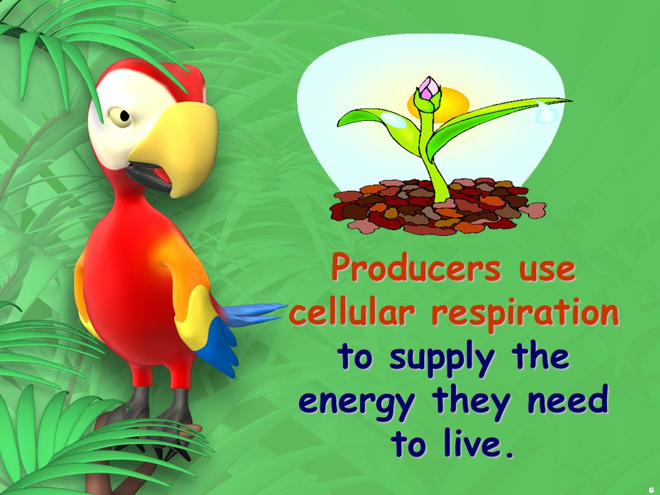 6 Producers use cellular respiration to supply the energy they need to live.
