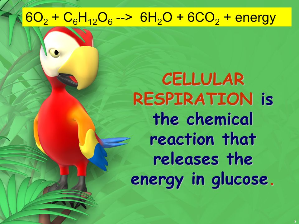 7 CELLULAR RESPIRATION is the chemical reaction that releases the energy in glucose. 6O 2 + C 6 H 12 O 6 --> 6H 2 O + 6CO 2 + energy