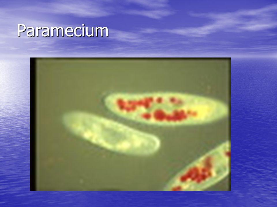 Paramecium Paramecium is a group of protists found in aquatic communities Paramecium is a group of protists found in aquatic communities