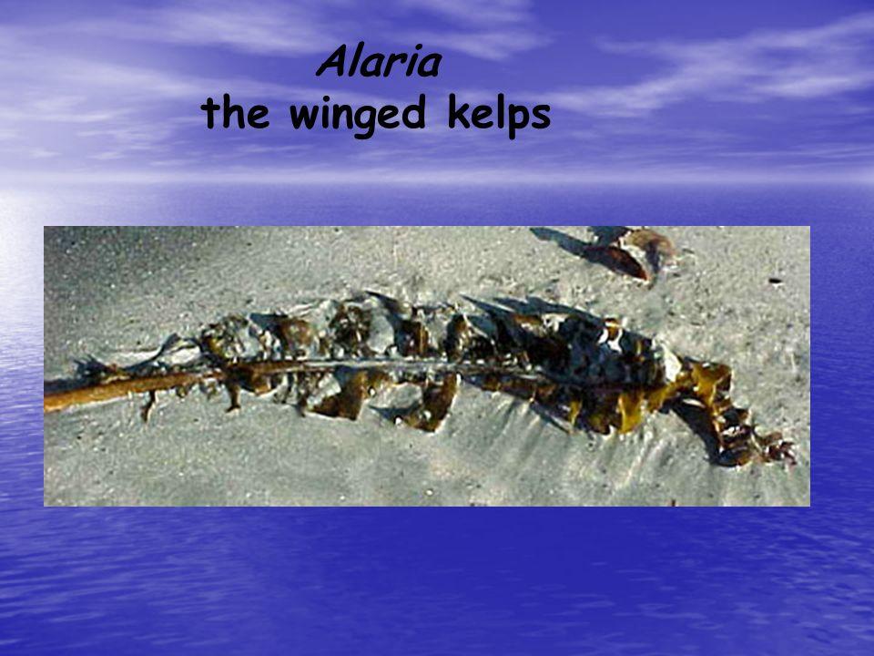 Algae Phylum Phaeophyta Phylum Phaeophyta –Brown Algae include several species of seaweed and kelp –Mostly live in aquatic environments –All species a