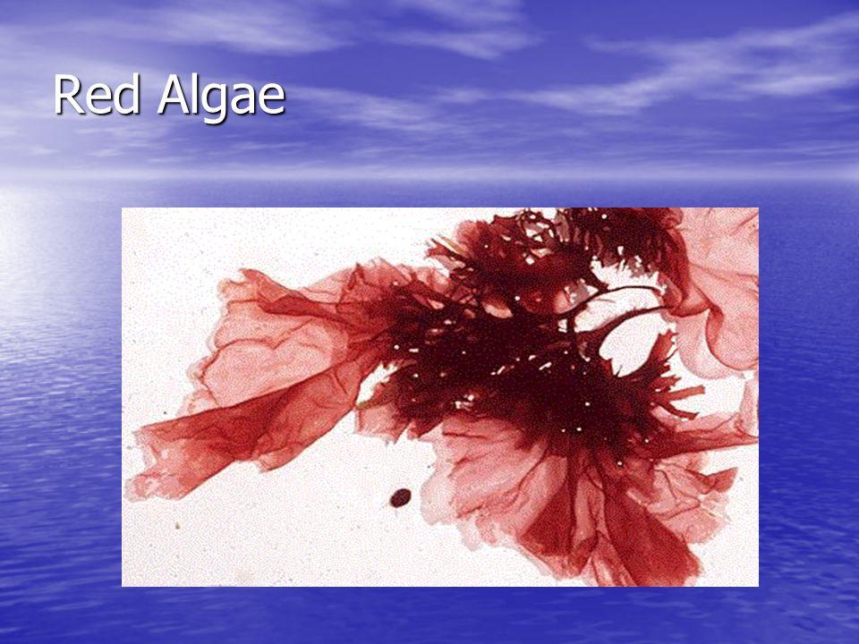 Algae Phylum Rhodophyta Phylum Rhodophyta Red Algae Red Algae Live in fresh and salt water, moist soil, can be found deep in the ocean Live in fresh a