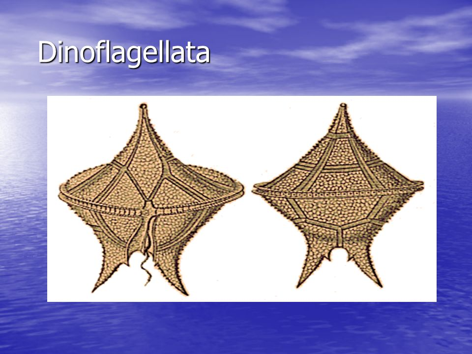 Algae Phylum Dinoflagellata Phylum Dinoflagellata –Usually unicellular –Usually photosynthetic but a few species are colorless heterotrophs –Make up m