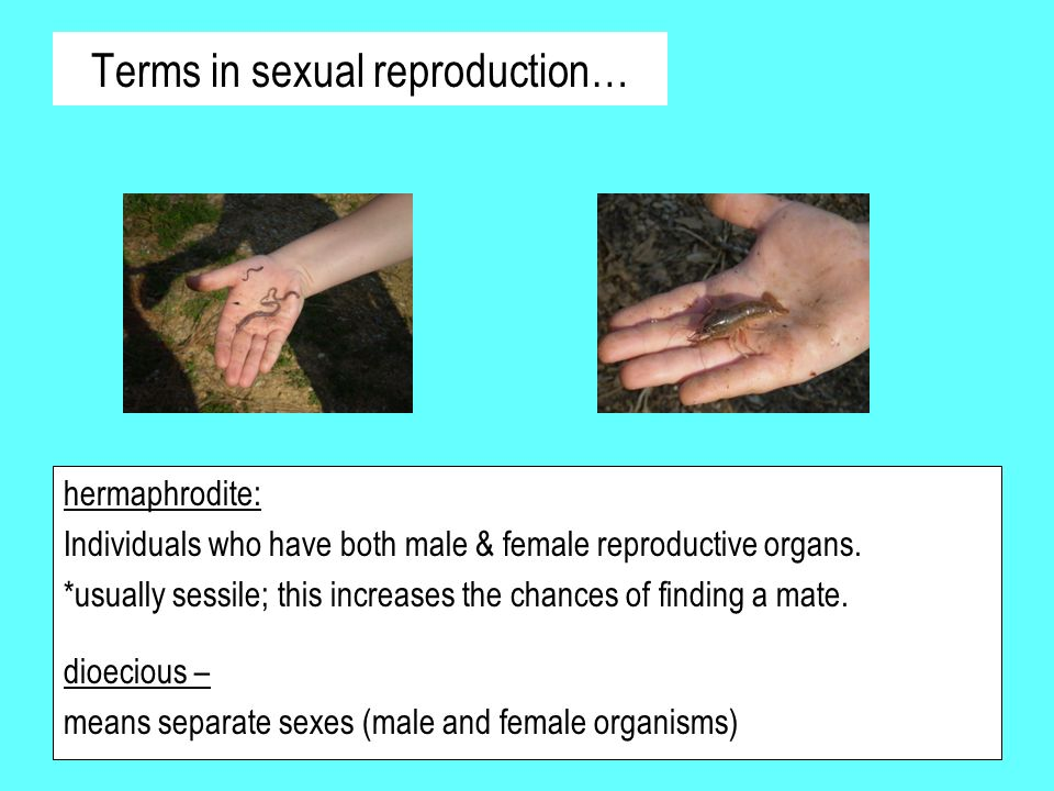 Terms in sexual reproduction… hermaphrodite: Individuals who have both male & female reproductive organs. *usually sessile; this increases the chances