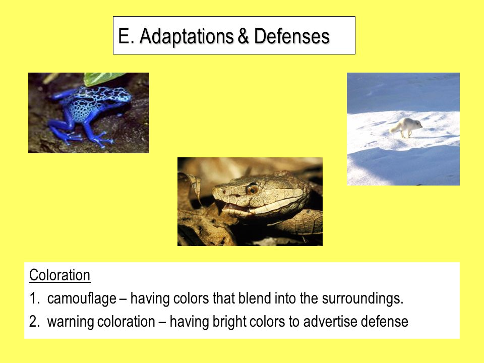 Adaptations & Defenses E. Adaptations & Defenses Coloration 1.camouflage – having colors that blend into the surroundings. 2.warning coloration – havi