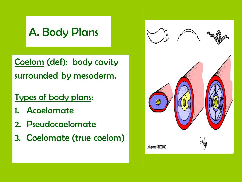 A. Body Plans Coelom (def): body cavity surrounded by mesoderm. Types of body plans: 1.Acoelomate 2.Pseudocoelomate 3.Coelomate (true coelom)