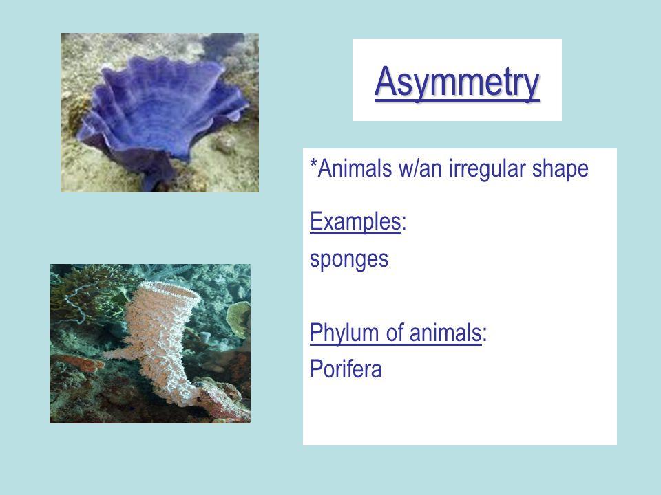 Asymmetry *Animals w/an irregular shape Examples: sponges Phylum of animals: Porifera