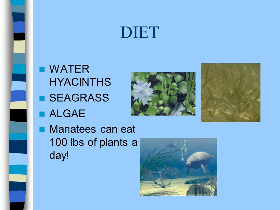 THREATS TO MANATEES Loss of living space, or habitat. Boats Pollution such as trash and chemicals