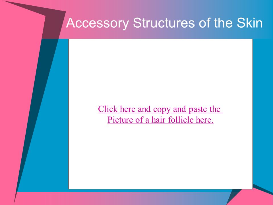 Accessory Structures of the Skin Click here and copy and paste the Picture of a hair follicle here.