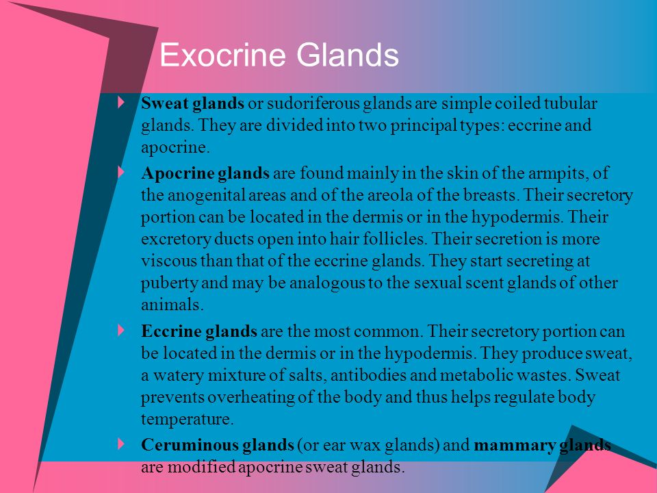 Exocrine Glands Sweat glands or sudoriferous glands are simple coiled tubular glands. They are divided into two principal types: eccrine and apocrine.