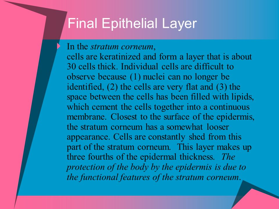 In the stratum corneum, cells are keratinized and form a layer that is about 30 cells thick.