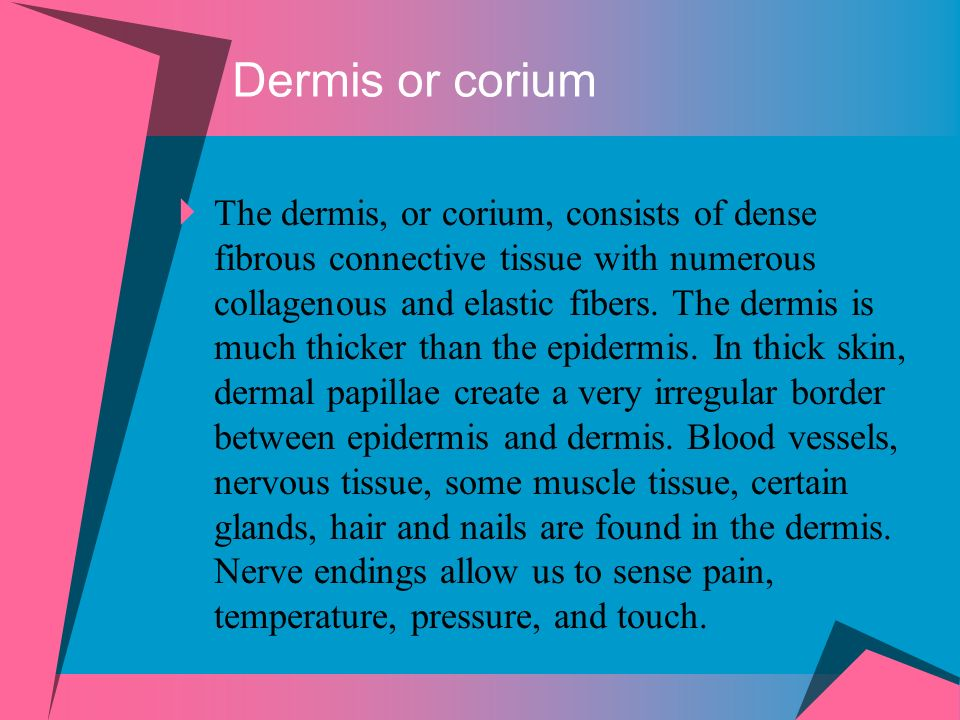 Dermis or corium The dermis, or corium, consists of dense fibrous connective tissue with numerous collagenous and elastic fibers. The dermis is much t
