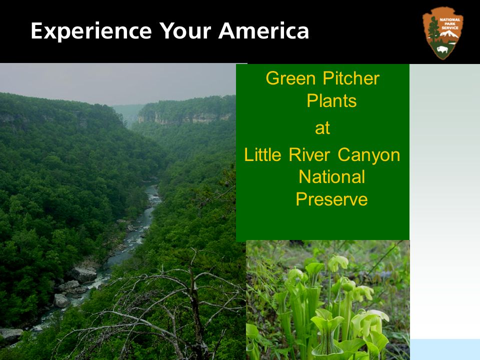 Green Pitcher Plants at Little River Canyon National Preserve