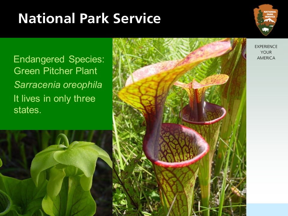 Endangered Species: Green Pitcher Plant Sarracenia oreophila It lives in only three states.