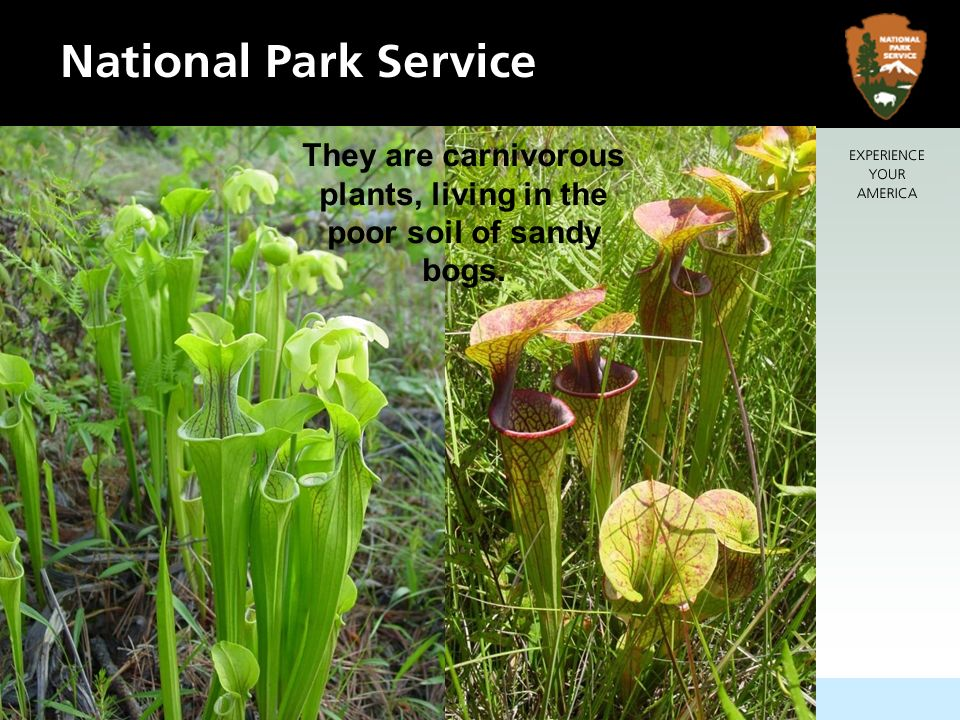 They are carnivorous plants, living in the poor soil of sandy bogs.