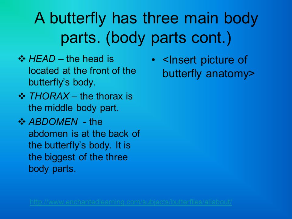 A butterflys head (body parts cont.): Two compound eyes made up of many hexagonal lenses.