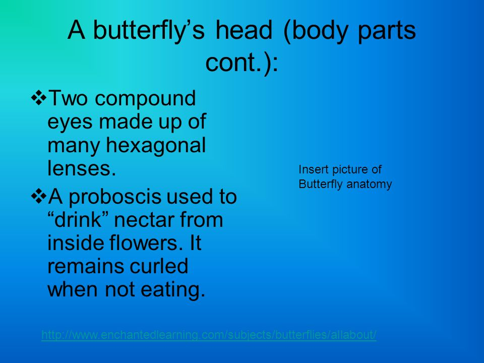 A butterflys head (body parts cont.): Two compound eyes made up of many hexagonal lenses. A proboscis used to drink nectar from inside flowers. It rem