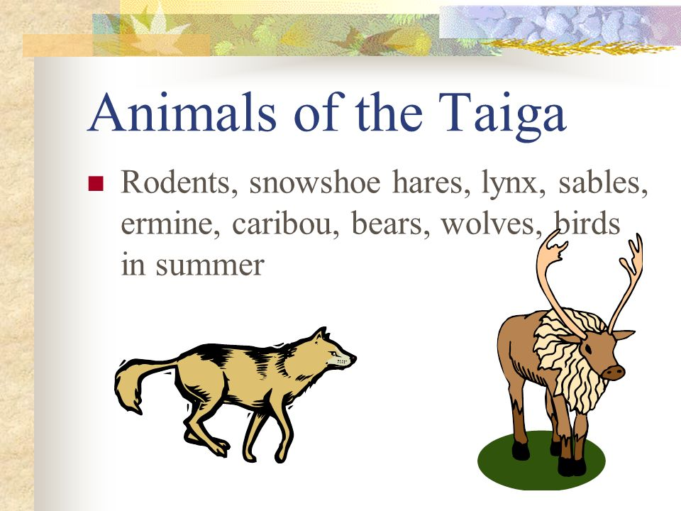 Animals of the Taiga Rodents, snowshoe hares, lynx, sables, ermine, caribou, bears, wolves, birds in summer