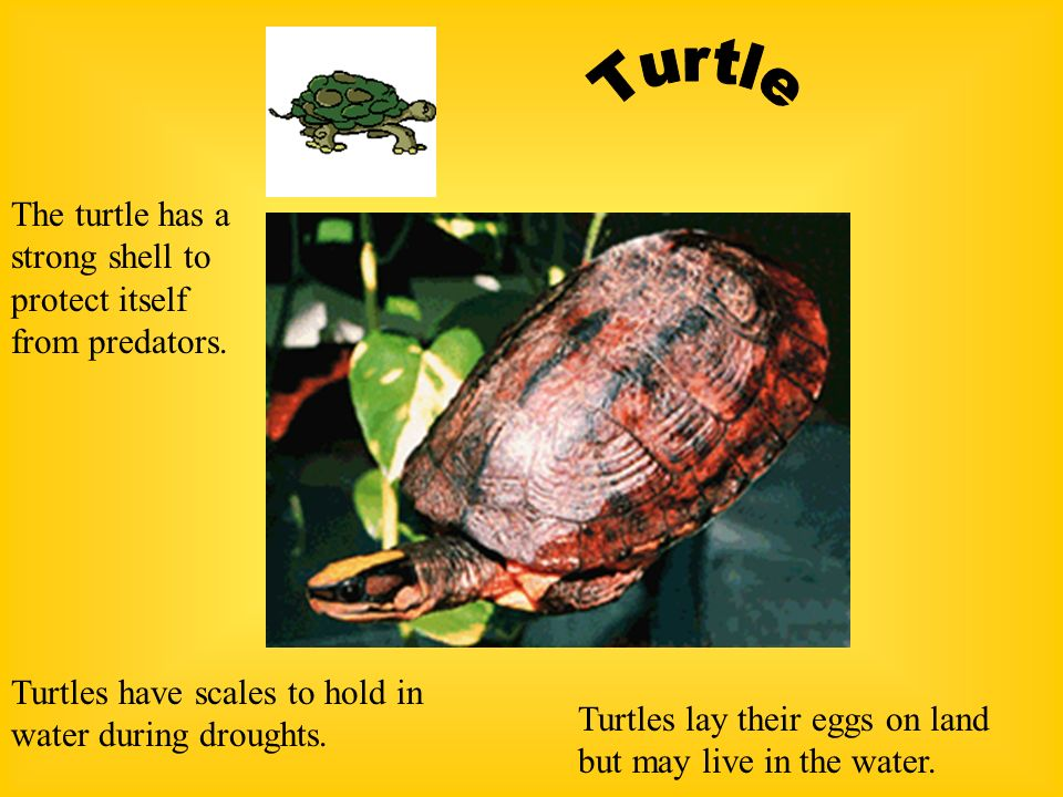 Frogs have sticky tongues to catch flies and other insects Large suction cups on feet help the frog climb trees and grass. Strong legs help the frog l