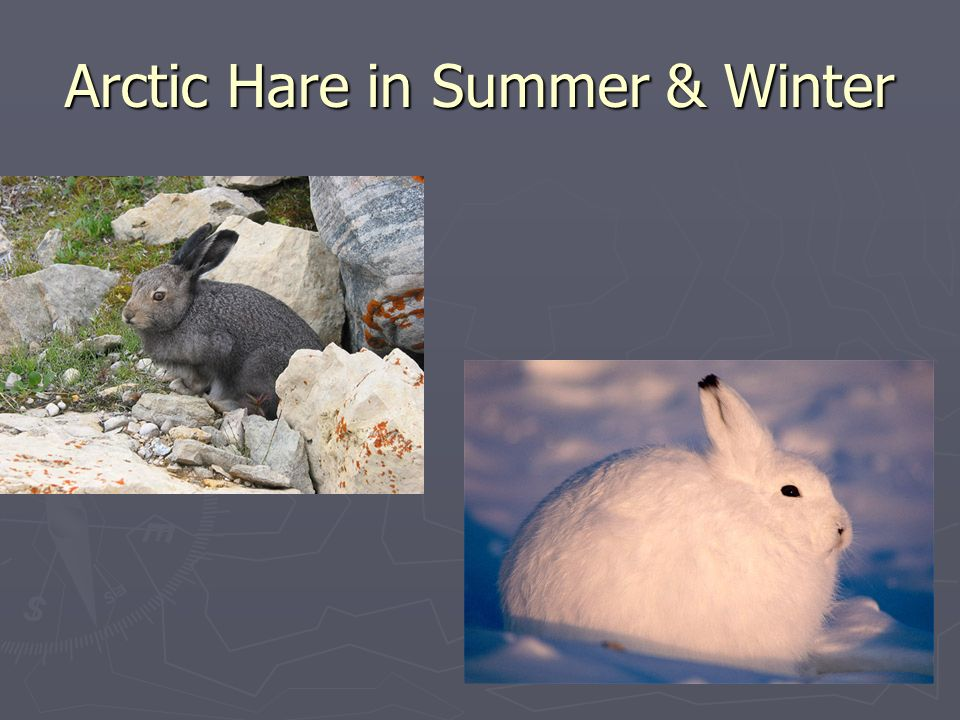 Arctic Hare in Summer & Winter