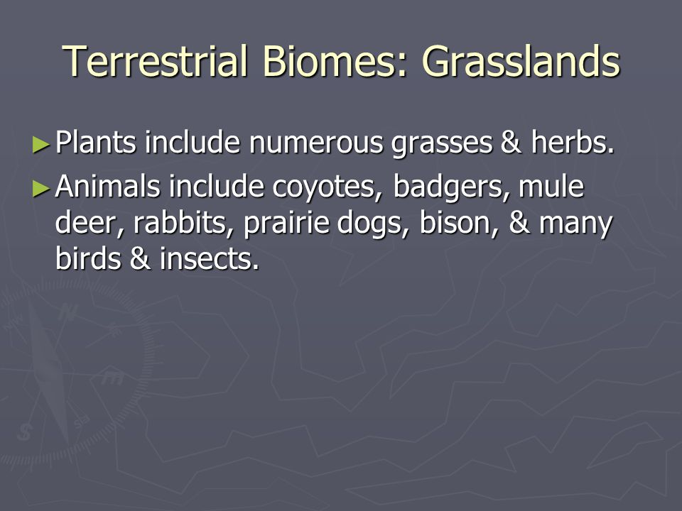 Terrestrial Biomes: Grasslands Plants include numerous grasses & herbs. Plants include numerous grasses & herbs. Animals include coyotes, badgers, mul