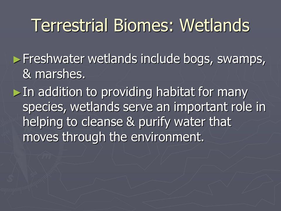 Terrestrial Biomes: Wetlands Freshwater wetlands include bogs, swamps, & marshes.