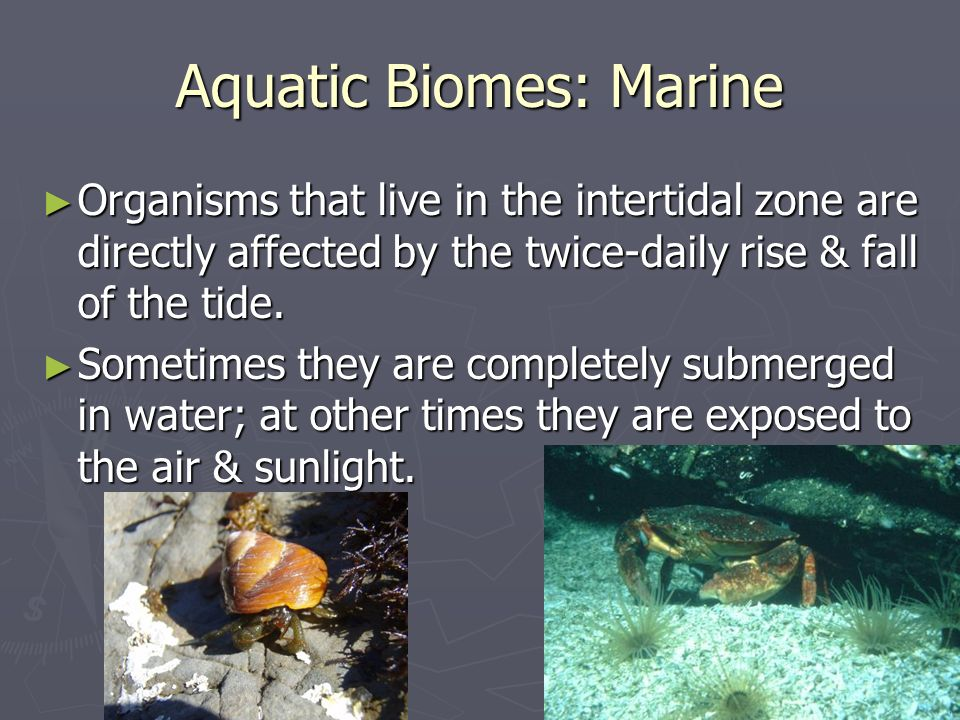 Aquatic Biomes: Marine Organisms that live in the intertidal zone are directly affected by the twice-daily rise & fall of the tide. Organisms that liv