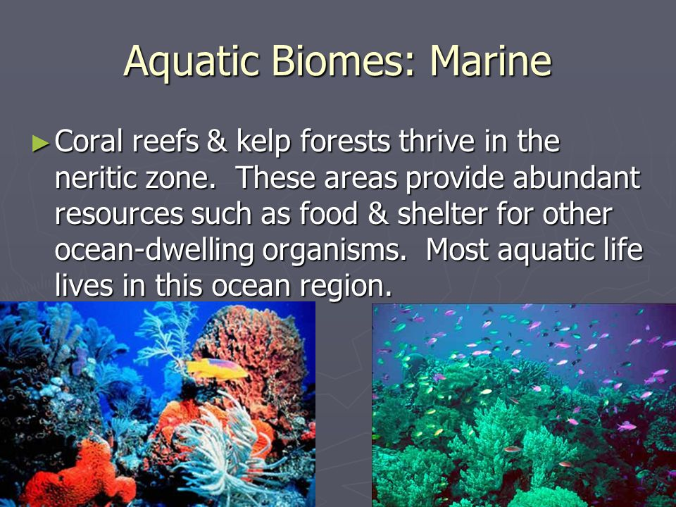 Aquatic Biomes: Marine Coral reefs & kelp forests thrive in the neritic zone. These areas provide abundant resources such as food & shelter for other