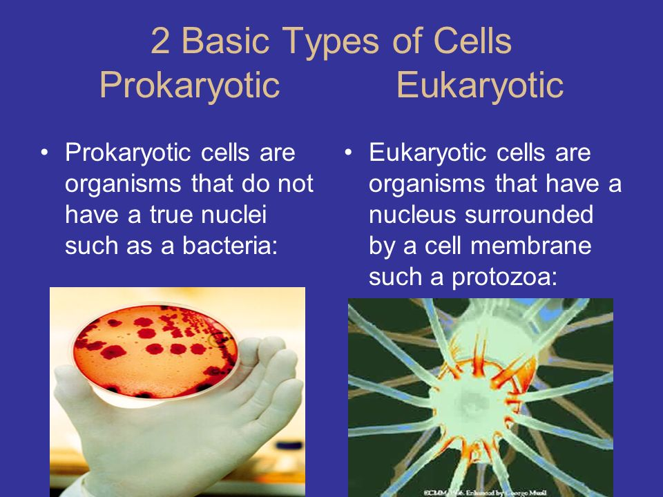 2 Basic Types of Cells Prokaryotic Eukaryotic Prokaryotic cells are organisms that do not have a true nuclei such as a bacteria: Eukaryotic cells are