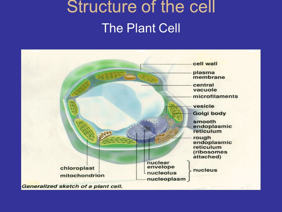 Structure of the cell The Plant Cell