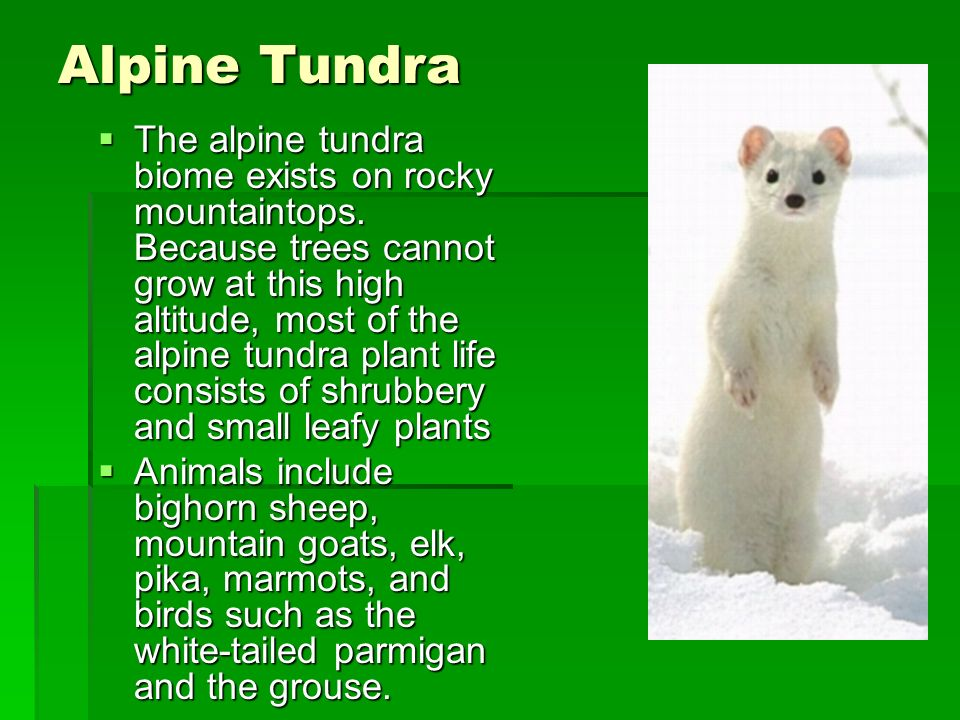 Alpine Tundra The alpine tundra biome exists on rocky mountaintops. Because trees cannot grow at this high altitude, most of the alpine tundra plant l