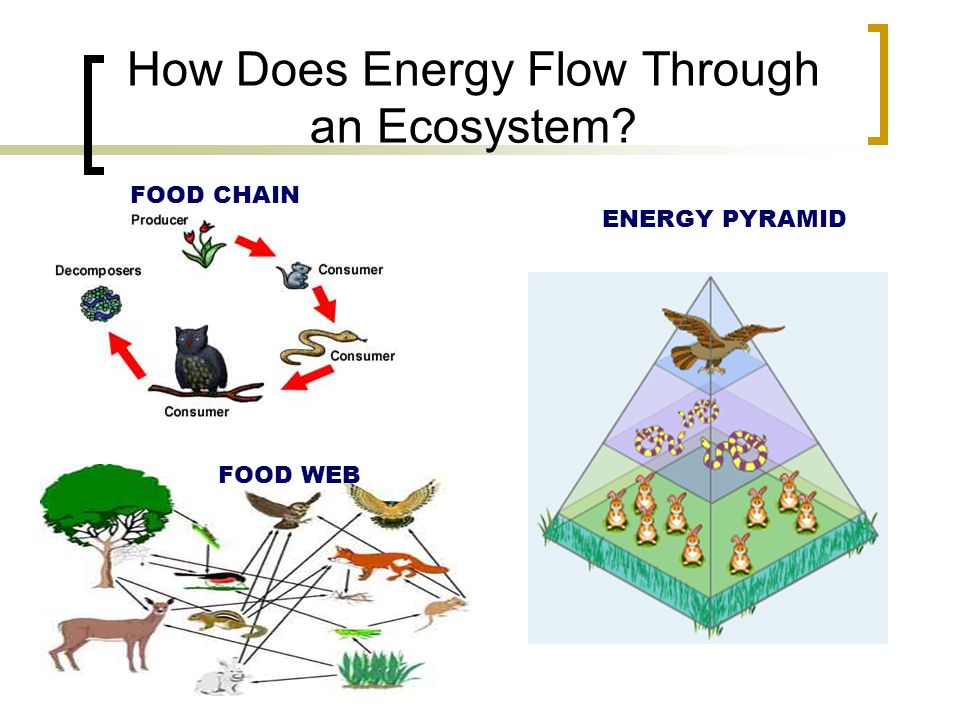 How Does Energy Flow Through an Ecosystem FOOD CHAIN FOOD WEB ENERGY PYRAMID