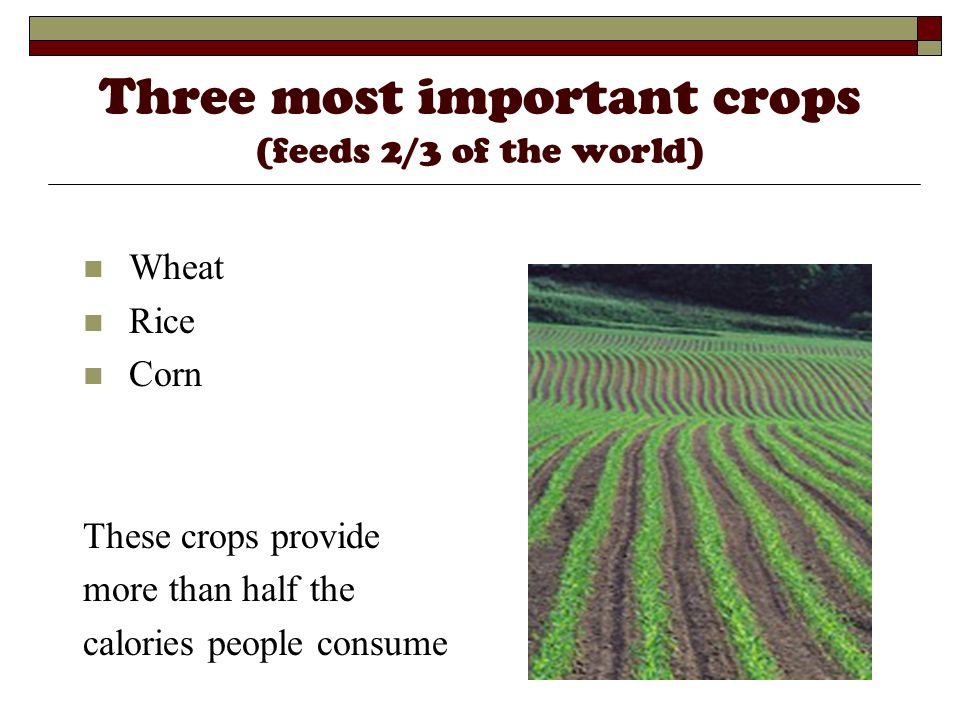 Three most important crops (feeds 2/3 of the world) Wheat Rice Corn These crops provide more than half the calories people consume