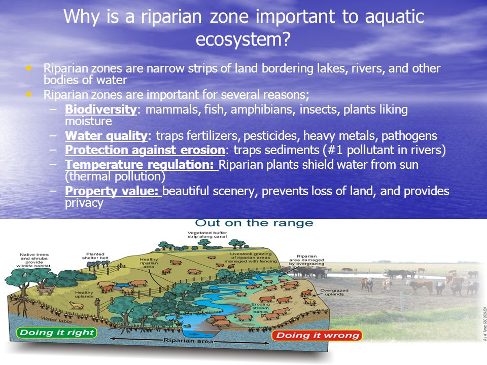 Why is a riparian zone important to aquatic ecosystem? Riparian zones are narrow strips of land bordering lakes, rivers, and other bodies of water Rip