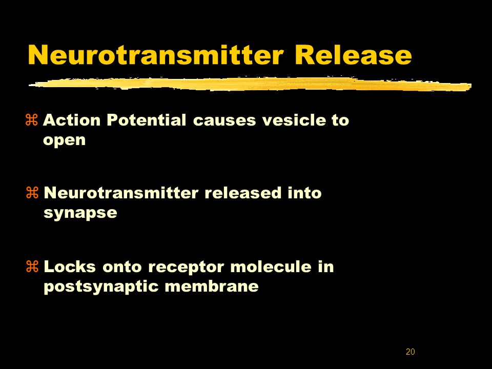 20 Neurotransmitter Release zAction Potential causes vesicle to open zNeurotransmitter released into synapse zLocks onto receptor molecule in postsyna