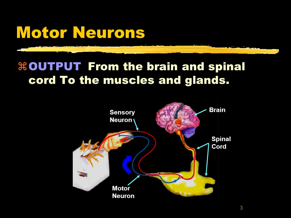 3 Spinal Cord Brain Sensory Neuron Motor Neuron Motor Neurons zOUTPUT From the brain and spinal cord To the muscles and glands.