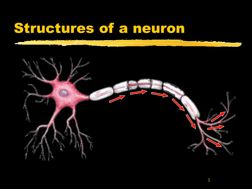 6 The cell body yRound, centrally located structure yContains DNA yControls protein manufacturing yDirects metabolism yNo role in neural signaling zContains the cells Nucleus