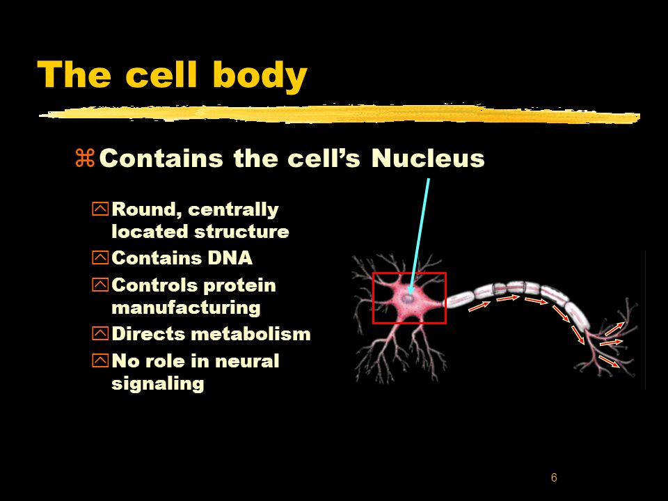 7 Dendrites zInformation collectors zReceive inputs from neighboring neurons zInputs may number in thousands zIf enough inputs the cells AXON may generate an output