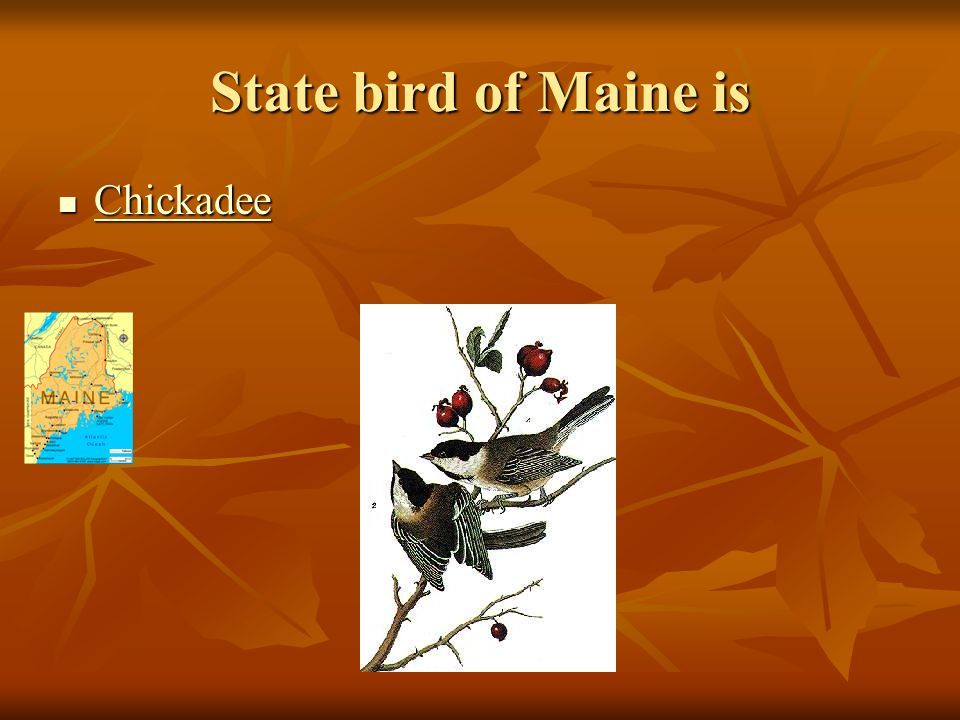 State bird of Maine is Chickadee Chickadee Chickadee