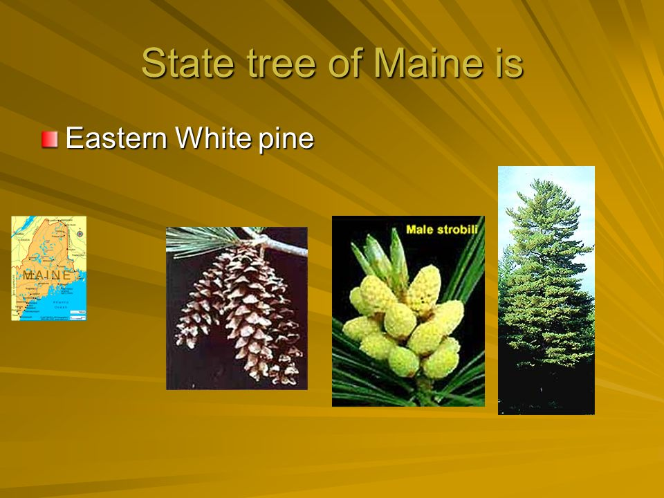 State flower of Maine is Whitepine cone and tassel