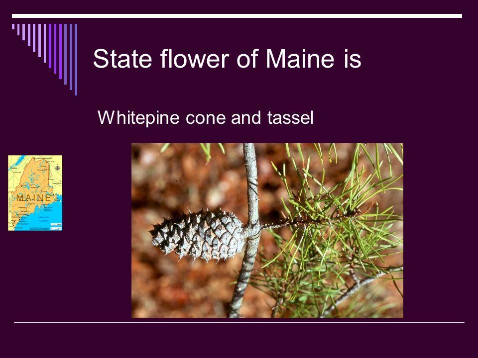 State bird of Maine is Chickadee Chickadee Chickadee