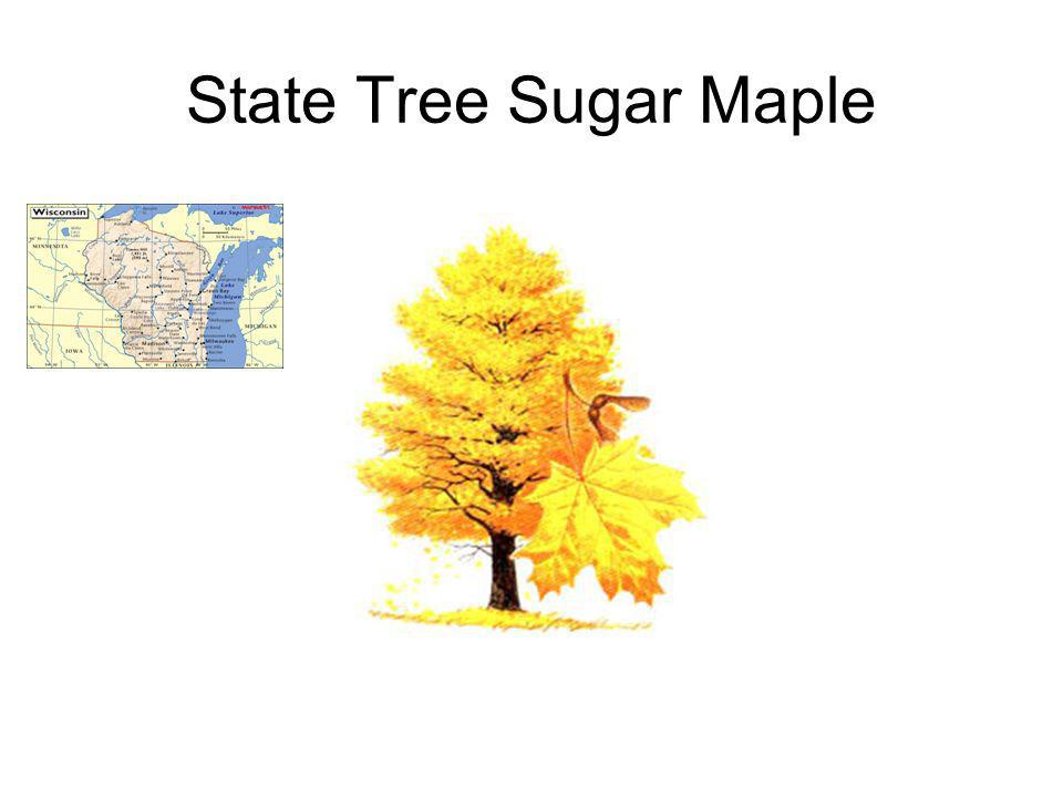 State Tree Sugar Maple
