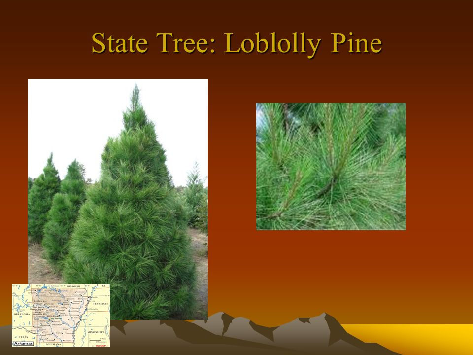 State Tree: Loblolly Pine