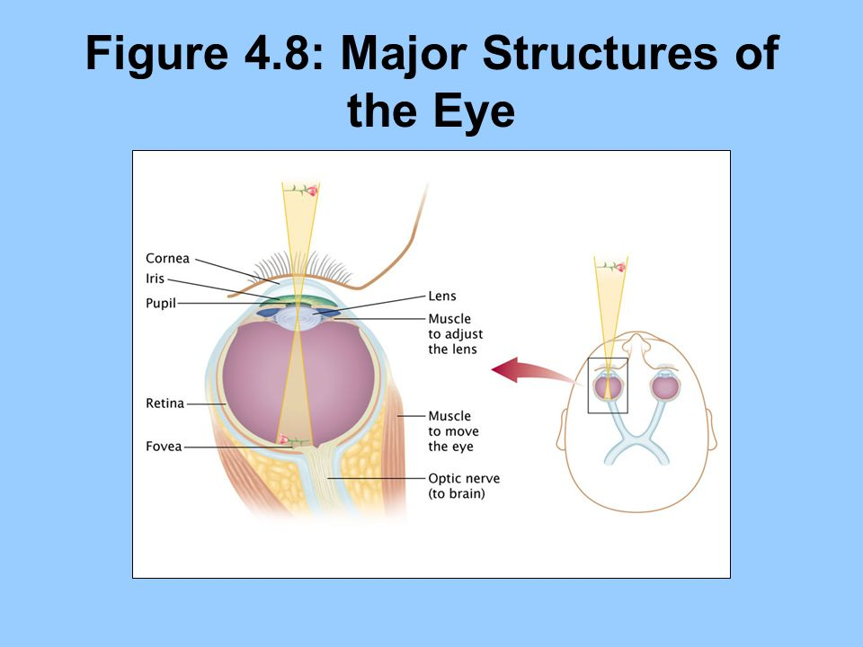 Figure 4.8: Major Structures of the Eye