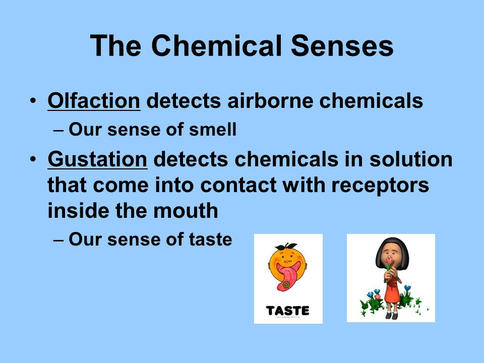 The Chemical Senses Olfaction detects airborne chemicals –Our sense of smell Gustation detects chemicals in solution that come into contact with recep