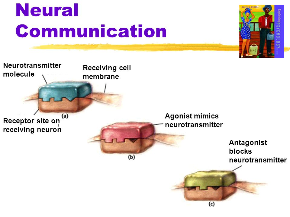 Neural Communication Neurotransmitter molecule Receiving cell membrane Receptor site on receiving neuron Agonist mimics neurotransmitter Antagonist bl
