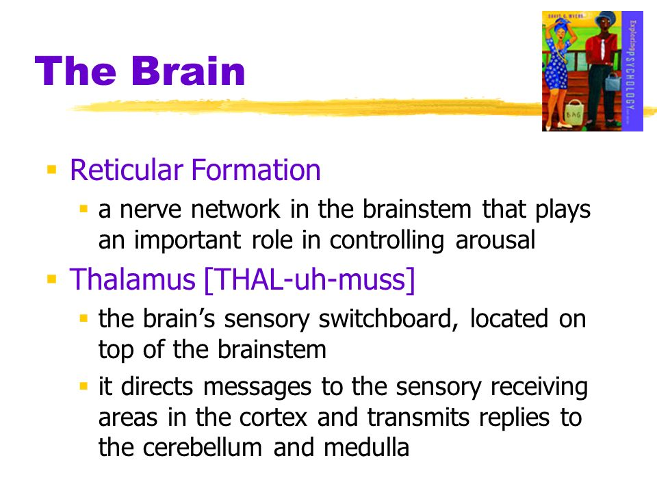The Brain Reticular Formation a nerve network in the brainstem that plays an important role in controlling arousal Thalamus [THAL-uh-muss] the brains