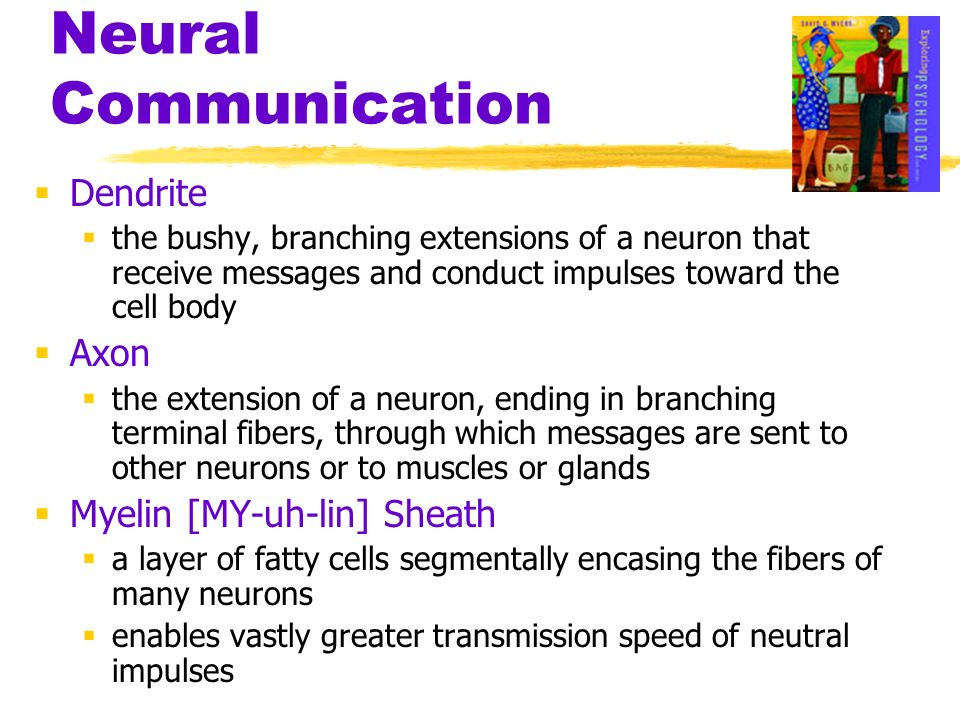 Neural Communication Dendrite the bushy, branching extensions of a neuron that receive messages and conduct impulses toward the cell body Axon the ext